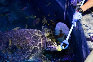 Ernie eating lettuce at SEA LIFE Manchester..