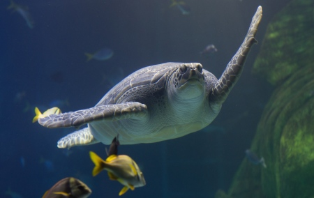 Giant Green Sea Turtle Ernie at SEA LIFE Manchester...